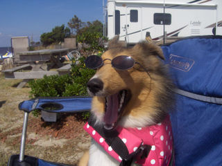 Sheltie on vacation