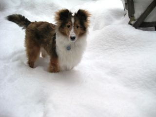 sheltie nation shelties are snow dogs. Black Bedroom Furniture Sets. Home Design Ideas