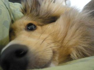 Smirking Sheltie