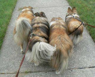 Sheltiebutts