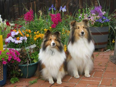 Shelties in flower garden
