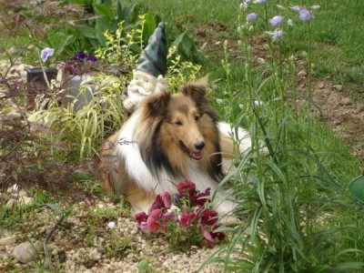 Sheltie in garden with gnome