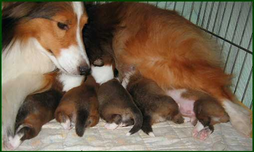 Sheltie Nation Should I Breed My Sheltie Sheltie Nation