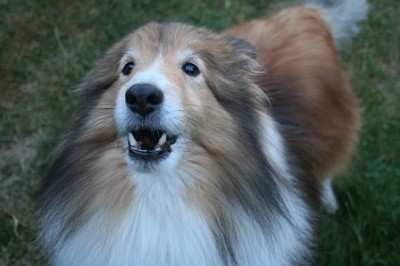 Sheltie barking