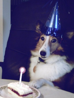 Sheltie in birthday hat