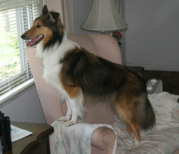 Sheltie looking out window