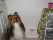 Sheltie about to be groomed