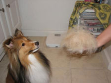 Sheltie furball after grooming