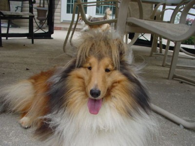 Sheltie with funny hair