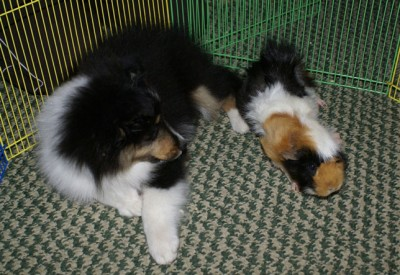 Sheltie puppy and guinea pig