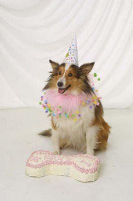 Sheltie and birthday cake