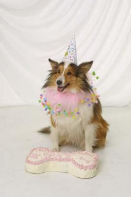 Sheltie and birthday cake