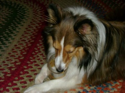 Sheltie eating peanut butter