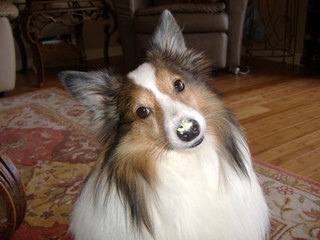 Sheltie with icecream on nose