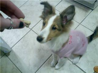 Sheltie puppy sits for treat