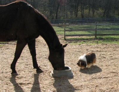 Sheltie eating with horse