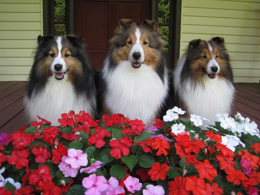 sheltie nation smiling summer shelties. Black Bedroom Furniture Sets. Home Design Ideas