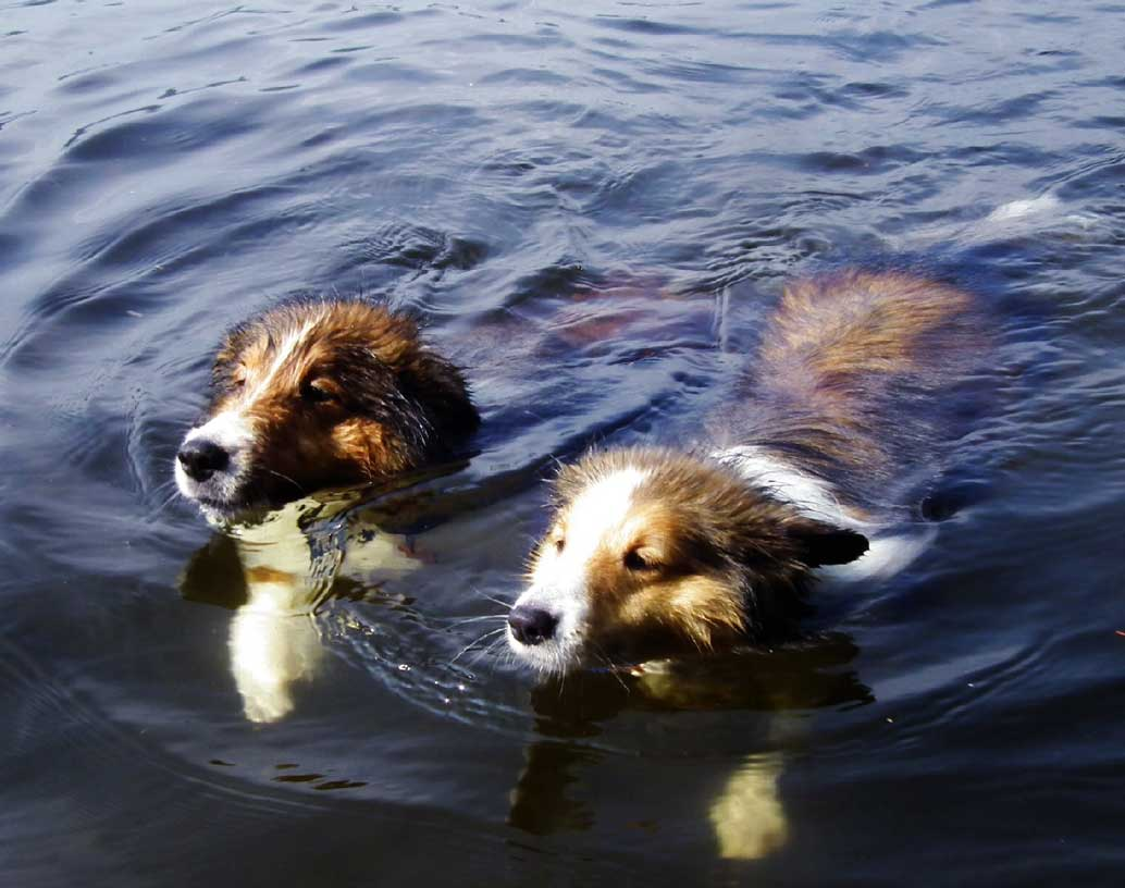 Water Shelties