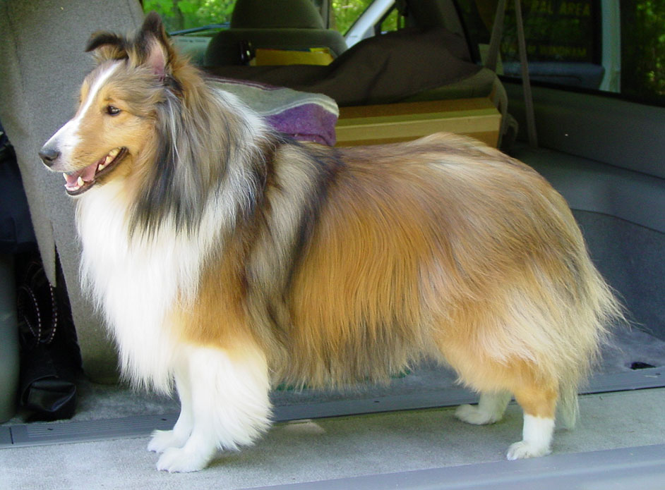 sheltie nation sheltie history learn about the