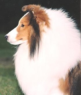 Shetland Sheepdog Breed Standard Sheltie Nation ...