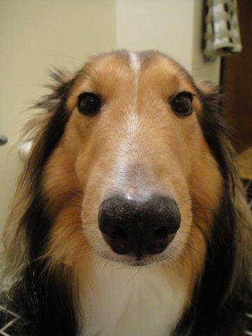Resultado de imagen para sheltie nose