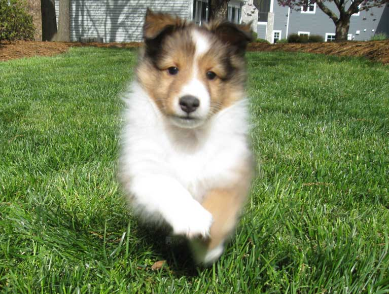 Sheltie Nation And Now For The