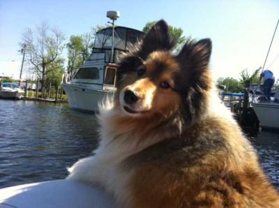 Shetland Sheepdog on a boat.