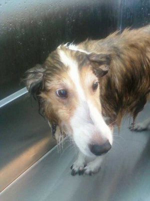 Sad look from wet Sheltie.