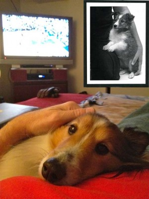 Sheltie cuddles during basketball game.