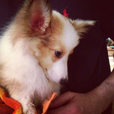 Cute rescue Sheltie with big ears.