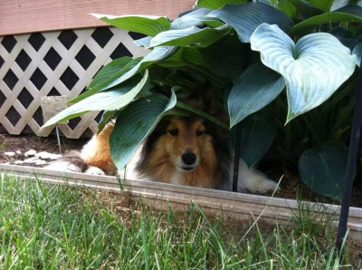 Shetland Sheepdog lays under hosta plant.