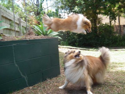 Shelties run and jump
