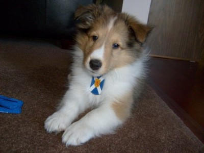 Sheltie puppy cute