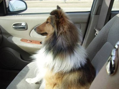 Sheltie rides in car front seat.