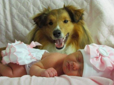 Sheltie and infant