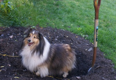 Sheltie standing in garden compost