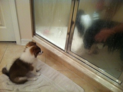 Puppy watches Sheltie in shower.