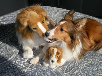 Sheltie bites toy