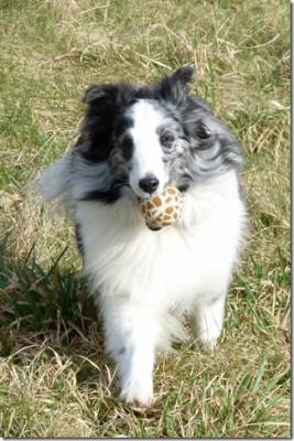 Shetland Sheepdog runs with ball.