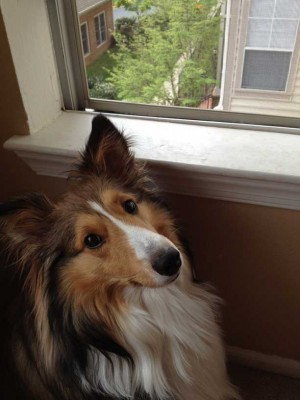 Sheltie looking out window.