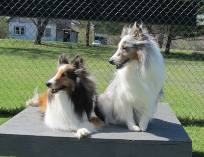 Shetland Sheepdogs on a bench on windy day.
