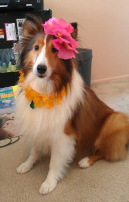 Sheltie wearing lei