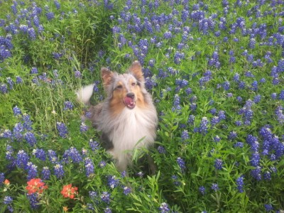 Sheltie in bluebonnets