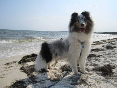 Merle Sheltie on Beach