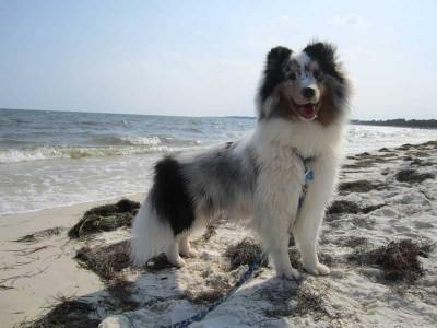 Merle Sheltie on Beach