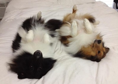 sheltie sleeping on back