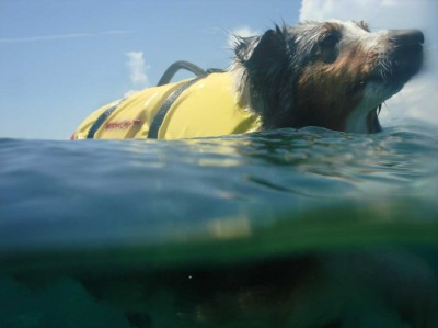 sheltie swimming in ocean