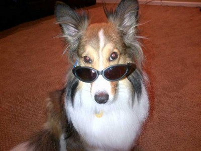 sheltie wearing sunglasses