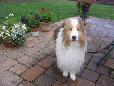 wet sheltie after a bath