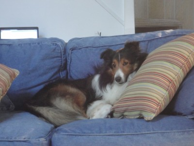 Sheltie dog on couch